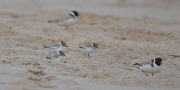 Hooded plovers on beach